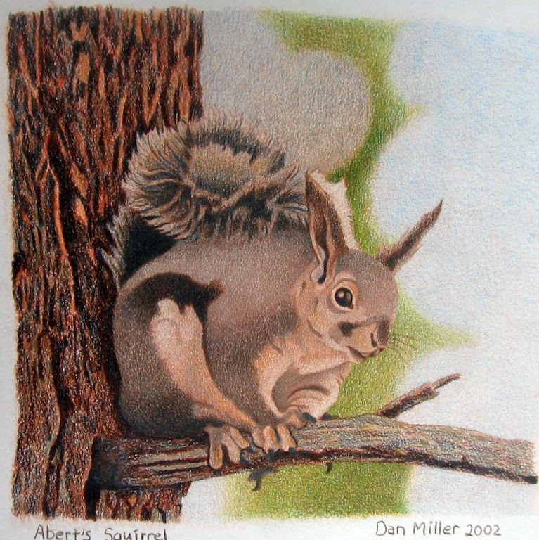 Aberts Squirrel