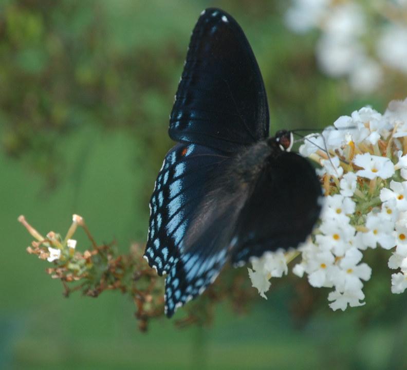 Butterfly V