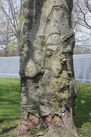 Narly Beech Tree Veteran's Park Binghamton, NY