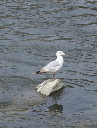 Just Visiting (Sea Gull on rock in Chenango River Binghamton NY