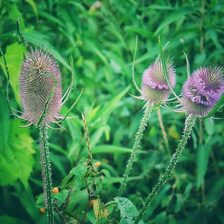 The Prickly Beauty of Teasel