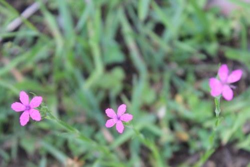 Depford Pinks