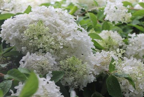 Hydrangea in a Summer Rain