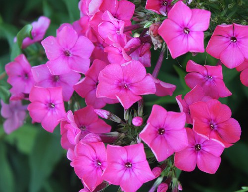 Hot Pink Phlox II
