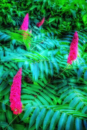 Herd of Staghorn Sumac