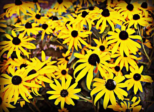 Rudbeckia (Brown Eyed Susan)